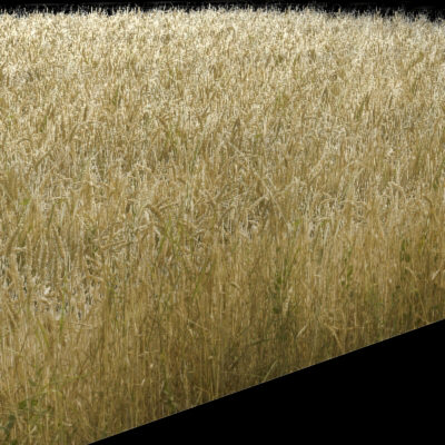 Wheat Field Texture High Resolution