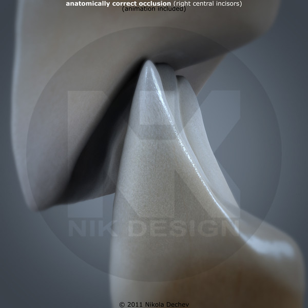 3d v4 0 incisors model - Right Permanent Central Incisors v4.0... by Nikola Dechev