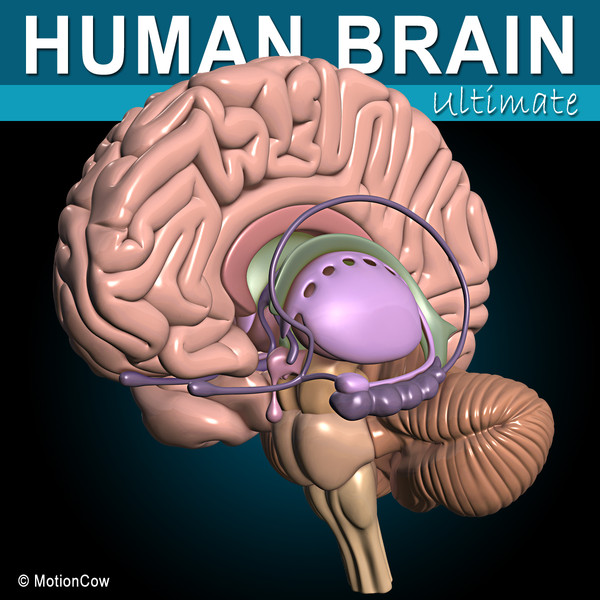 Human Brain Ultimate 3D Models