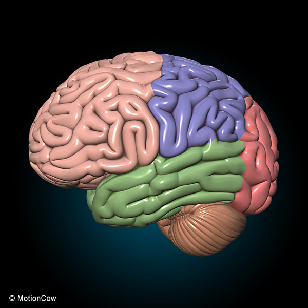 3d model human brain - Human Brain Ultimate... by MotionCow