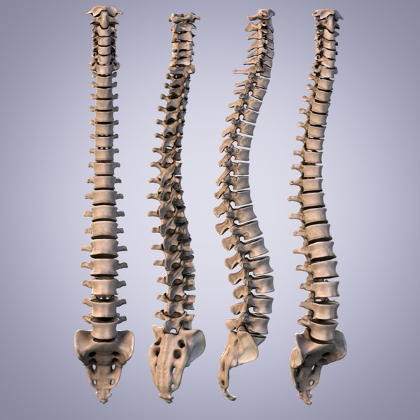 3d human spine anatomy model - Human Spine... by anatomy_3d