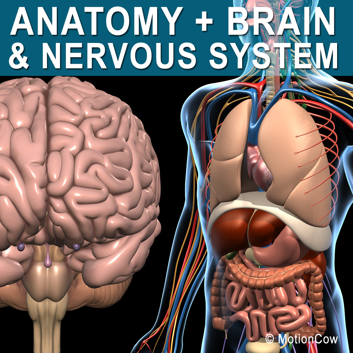 Anatomy_Brain_Nervous_A.jpg