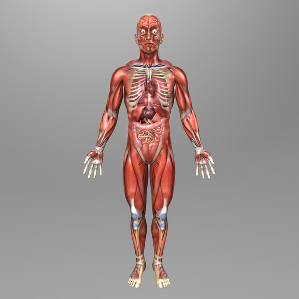 Human Male Anatomy