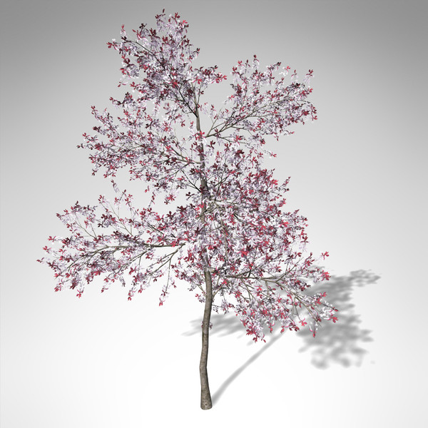 3d xfrogplants blossoming pissardii cherry model - XfrogPlants Blossoming Pissardii Cherry Plum... by xfrog