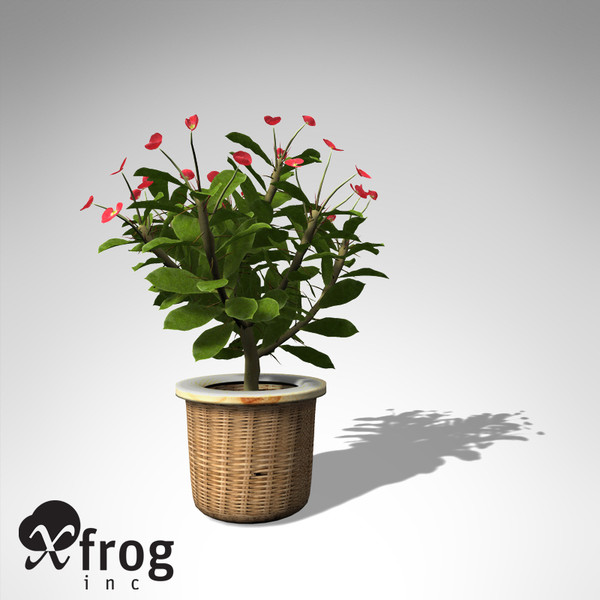 3d model xfrogplants crown-of-thorns plant - XfrogPlants Crown-of-Thorns HP... by xfrog