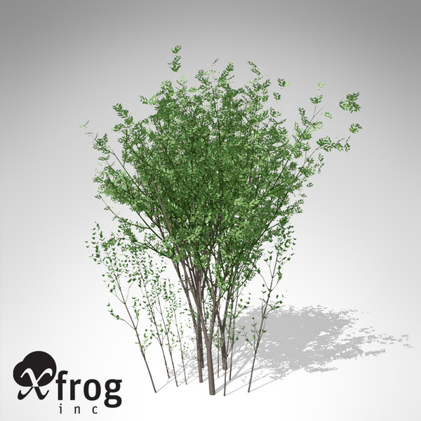 lwo xfrogplants european spindletree europe - XfrogPlants European Spindletree... by xfrog