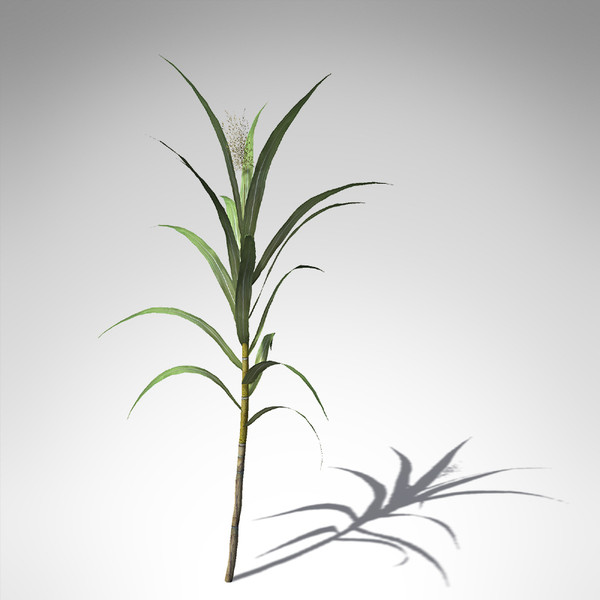 sugar cane plant 3d model - XfrogPlants Sugar Cane... by xfrog