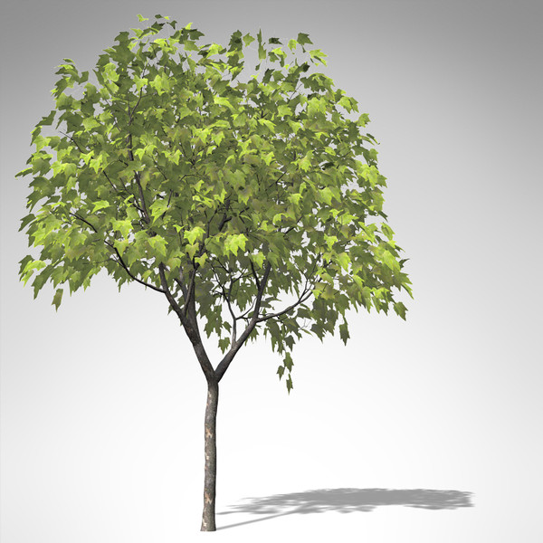 3d model of xfrogplants american planetree tree - XfrogPlants American Planetree... by xfrog