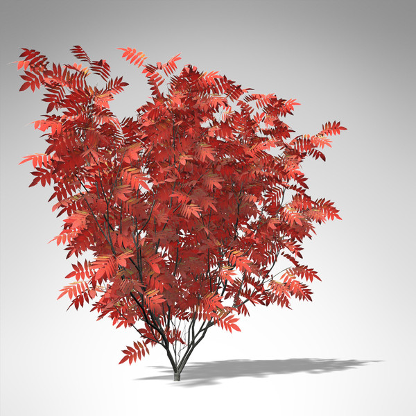 max xfrogplants staghorn sumac tree - XfrogPlants Staghorn Sumac... by xfrog