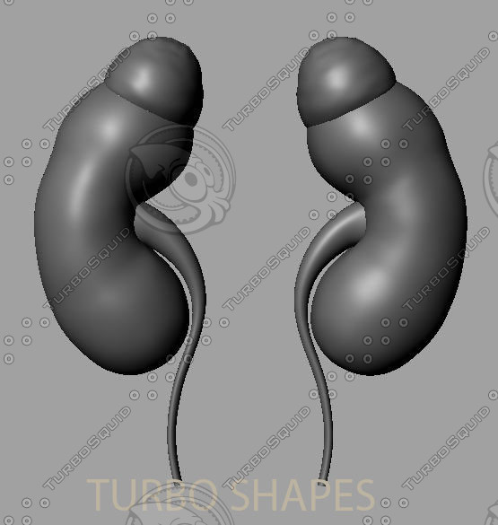 3d kidney model - kidney... by TURBO SHAPES