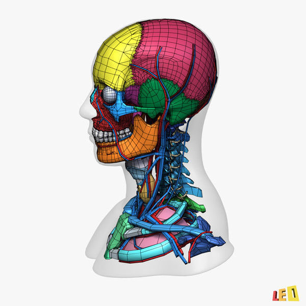 head anatomy male female 3d 3ds - Colored Head Anatomy... by leo3Dmodels
