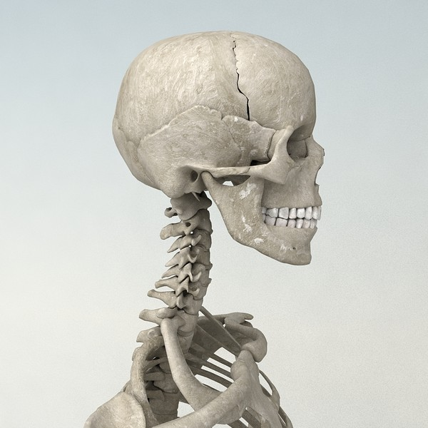 anatomical male skeleton 3d model - Anatomical Male Skeleton... by Imagework