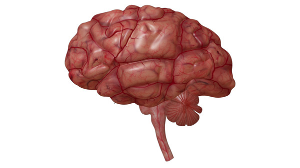 brain anatomy 3d obj - Brain... by Activepoly