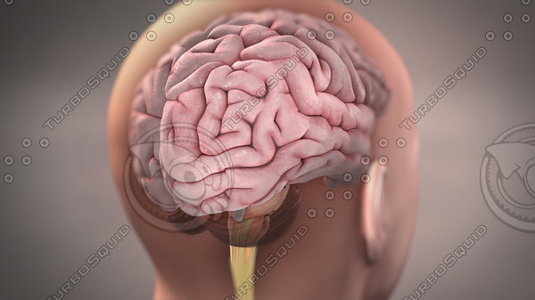 Brain in head male stock image 3D Models