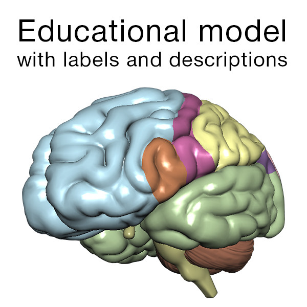 Brain Educational Model with Labels 3D Models