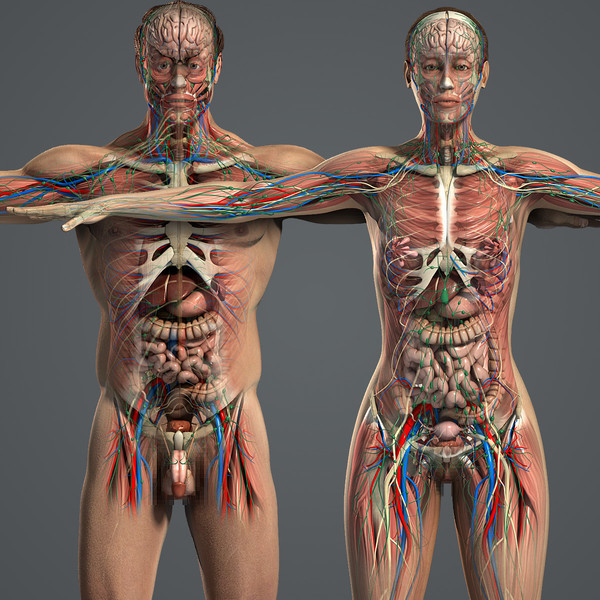 Male and Female Anatomy Complete Pack (Textured) 3D Models