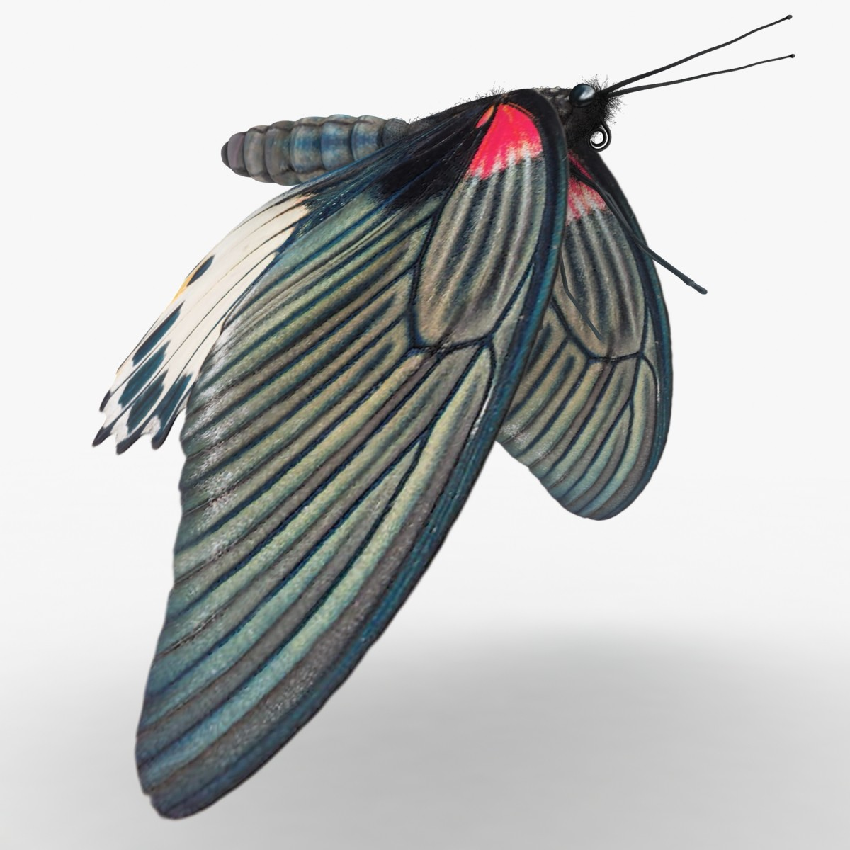 Mormon Butterfly (ANIMATED)
