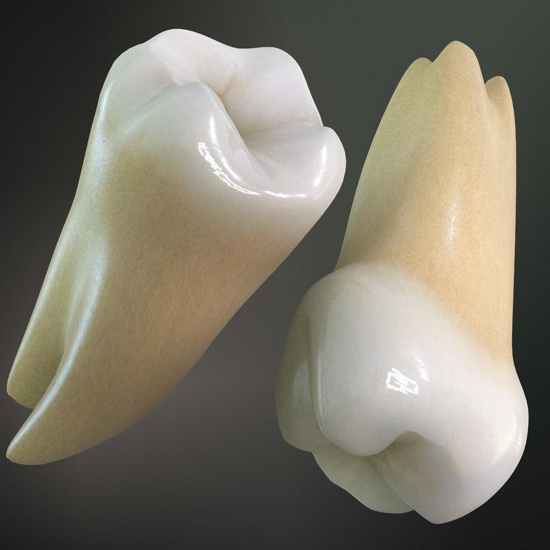 max teeth molars wisdoms