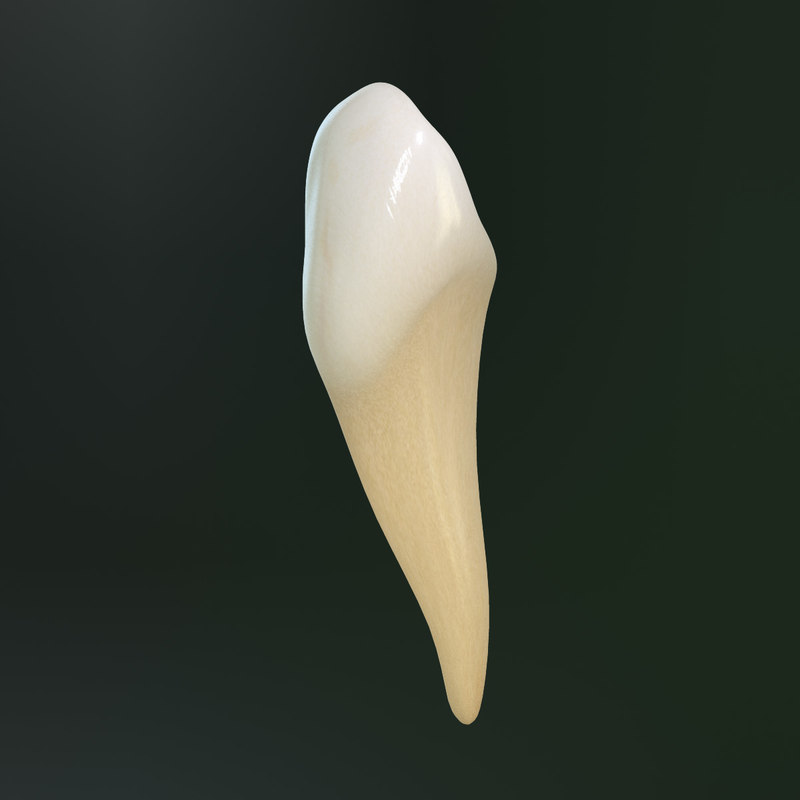 Lower Canine