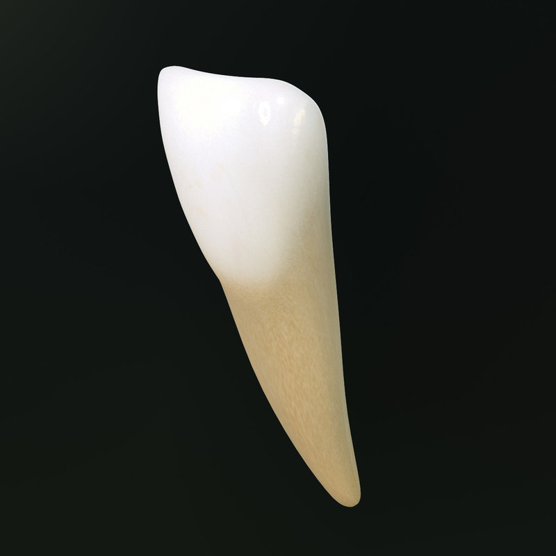 tooth lower central incisor 3d model
