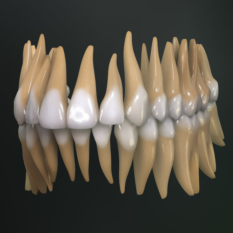 Permanent Dentition