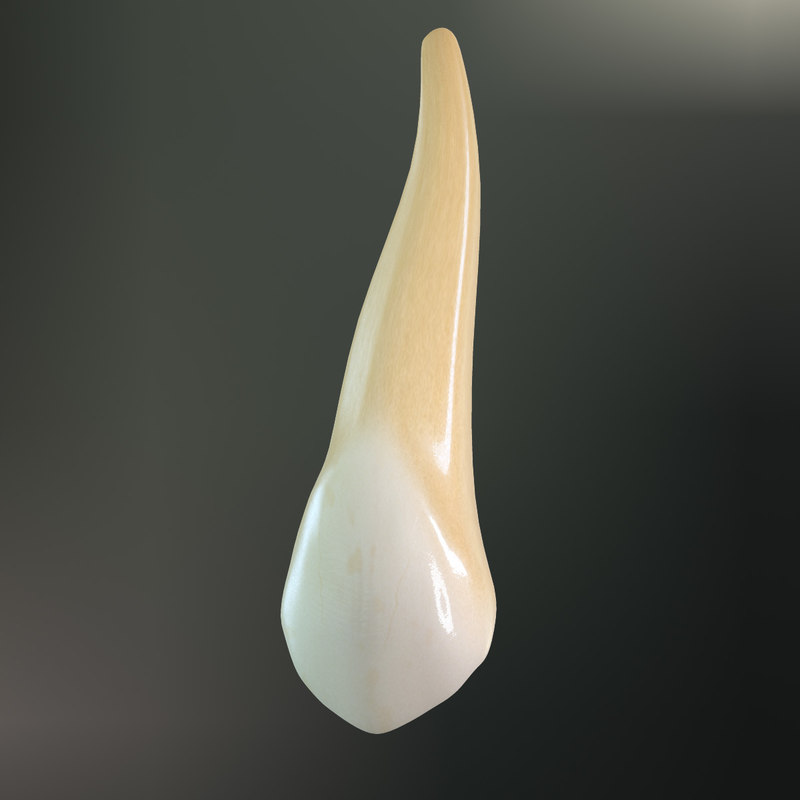 tooth upper canine 3d max