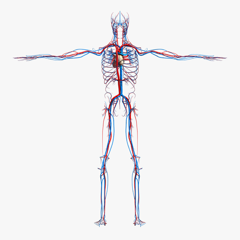 Circulatory_Turbosquid.jpg