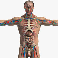 Complete human anatomy 3D models