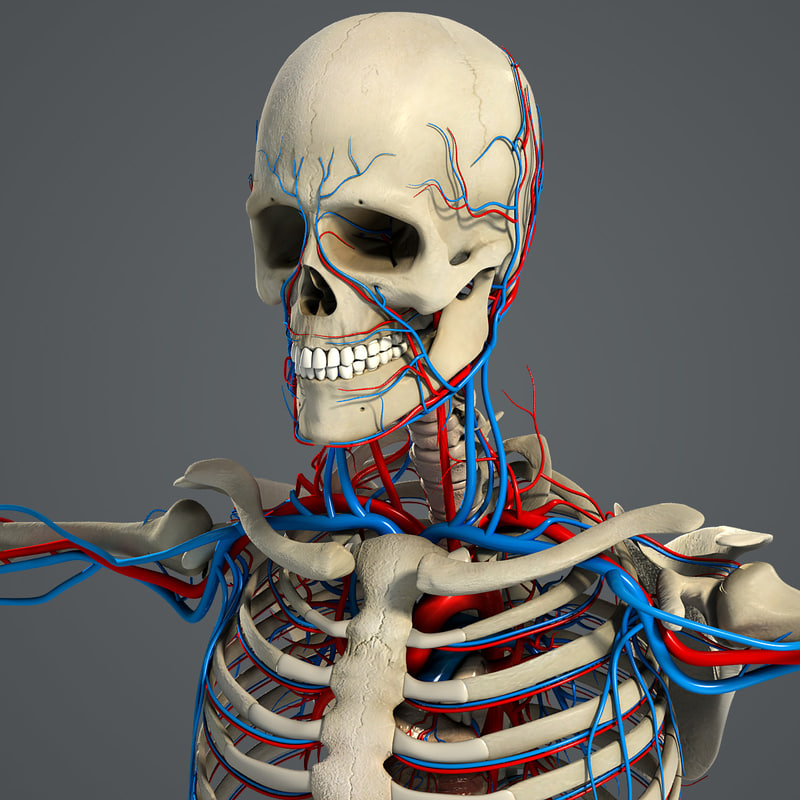 Male_Circulatory_Skeletal_01.jpg
