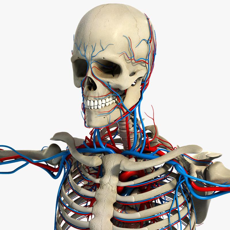 Male_Circulatory_Skeletal_CM_01.jpg