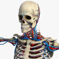 circulatory system 3D models
