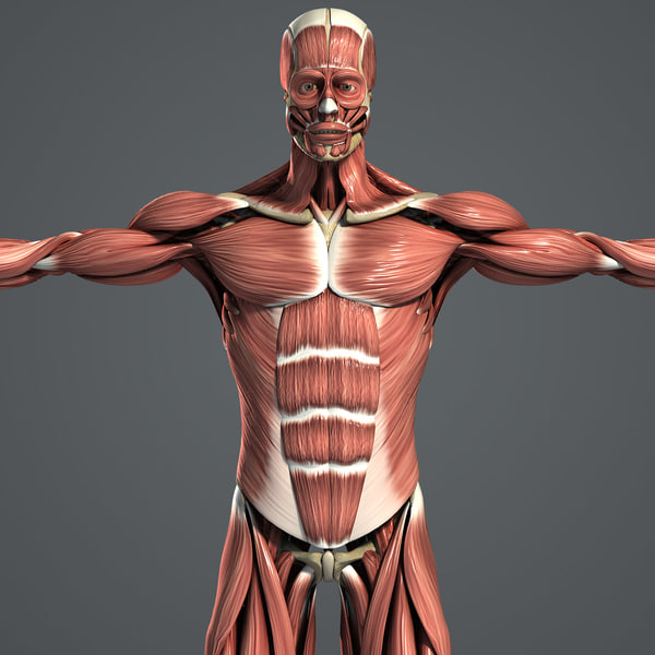 Muscular & Skeletal System Anatomy Pack (Textured) 3D Models
