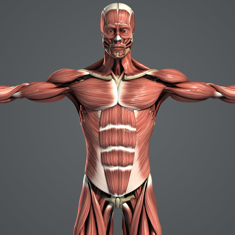 Male_Muscles_Skeleton_01.jpg
