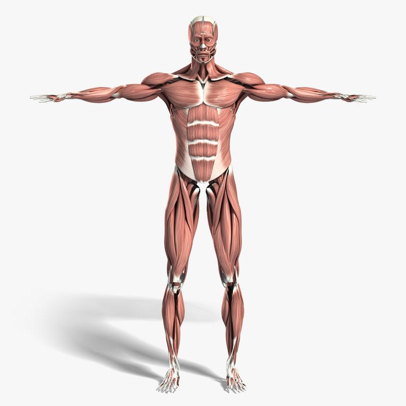 Muscles_Turbosquid.jpg