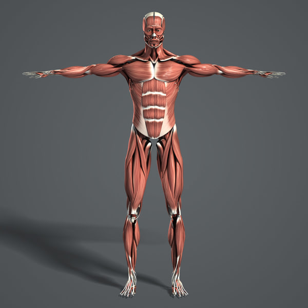 Muscular System (Textured) 3D Models
