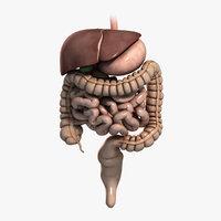 digestive system 3D models