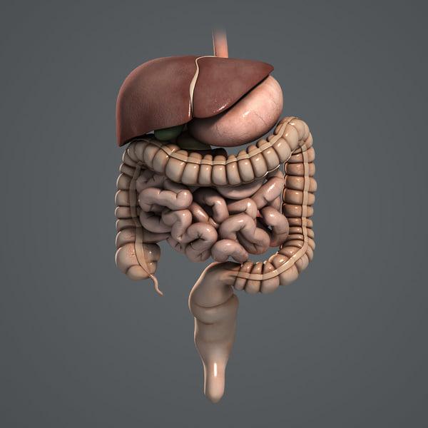 Digestive System (Textured) 3D Models