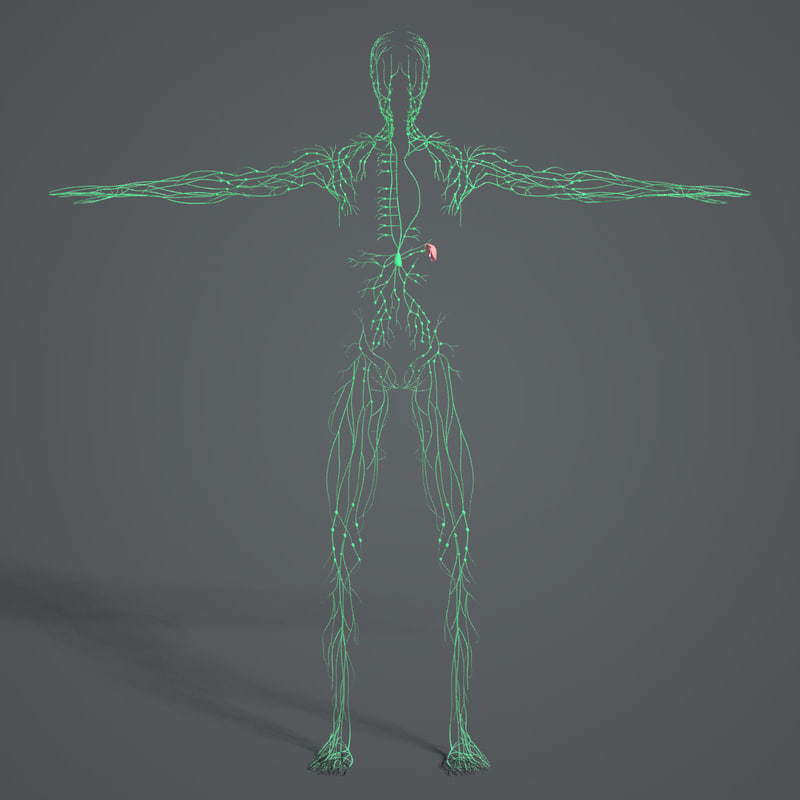 Lymphatic System (Textured)