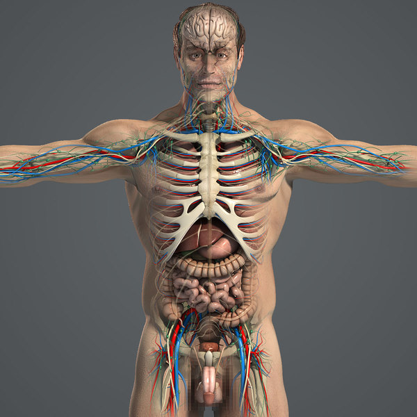 Male Anatomy Pack Essentials (Textured)(1) 3D Models