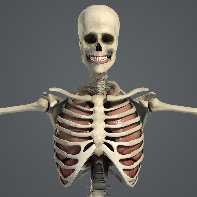 Male_Respiratory_Skeletal_01.jpg