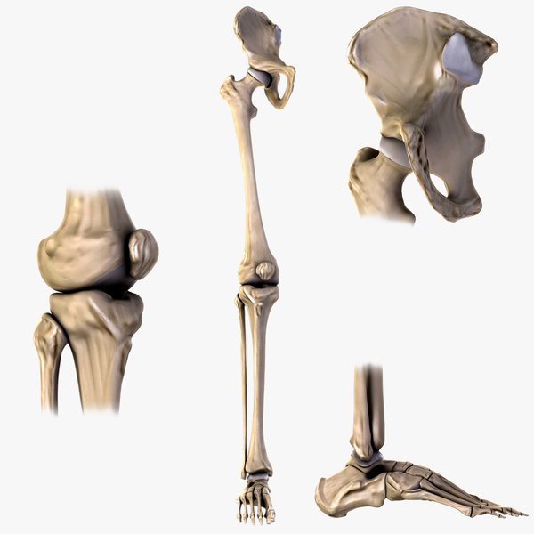 Hip Knee and Foot 3D Models