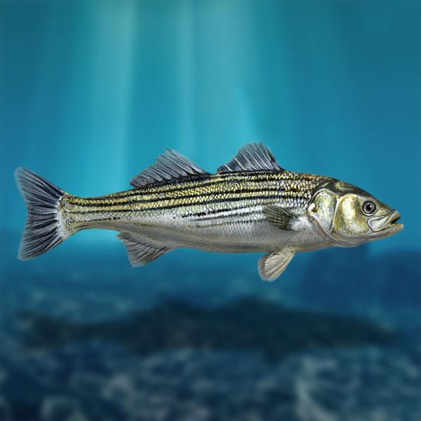 Sea Bass 3D Models