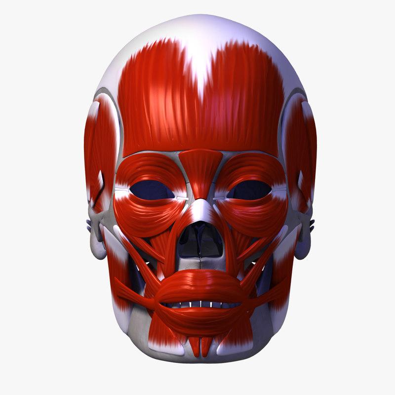 Skull+Musculature_00.jpg