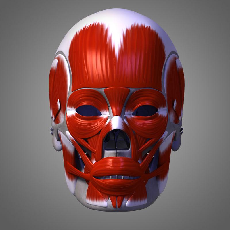 Skull+Musculature_01.jpg