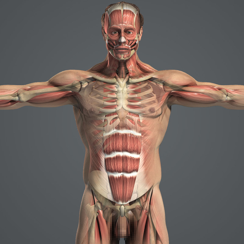 Male_Body_Muscular_Skeletal_01.jpg