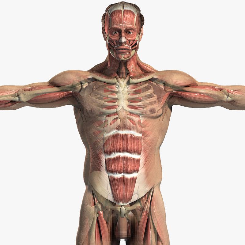 Male_Body_Muscular_Skeletal_CM_01.jpg
