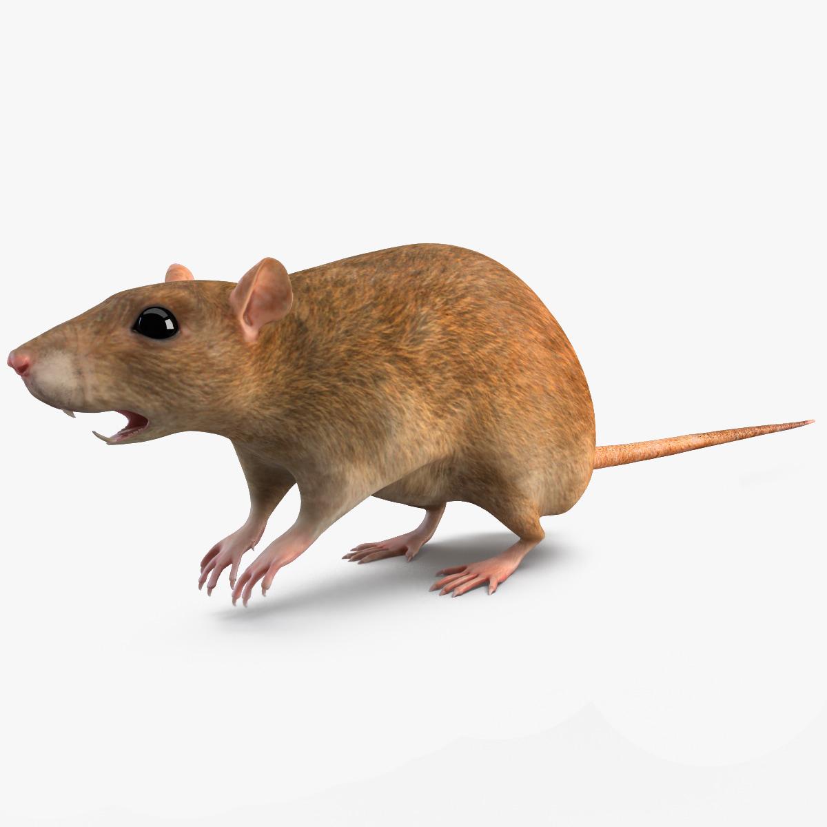 Rat_000.jpg