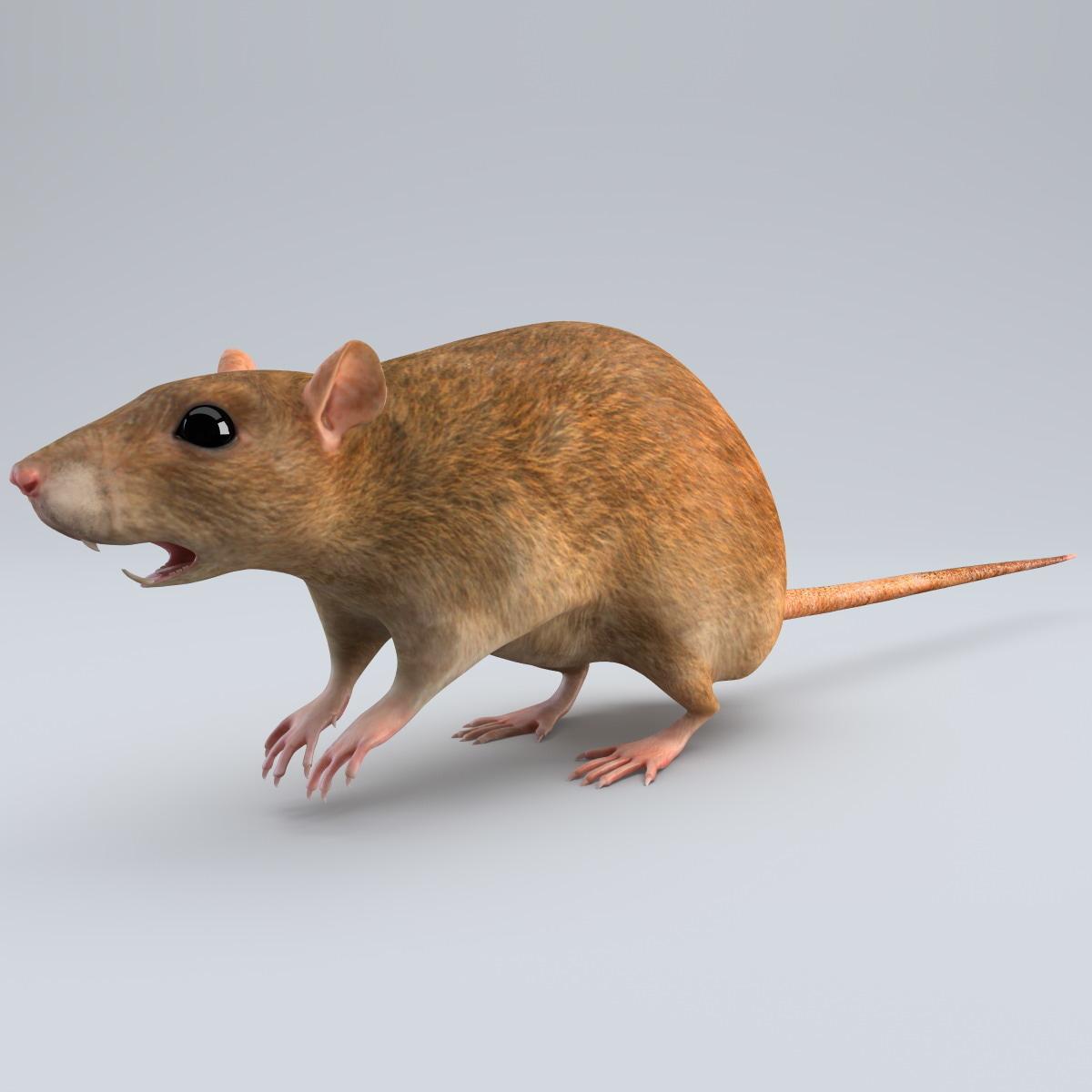 Rat_005.jpg