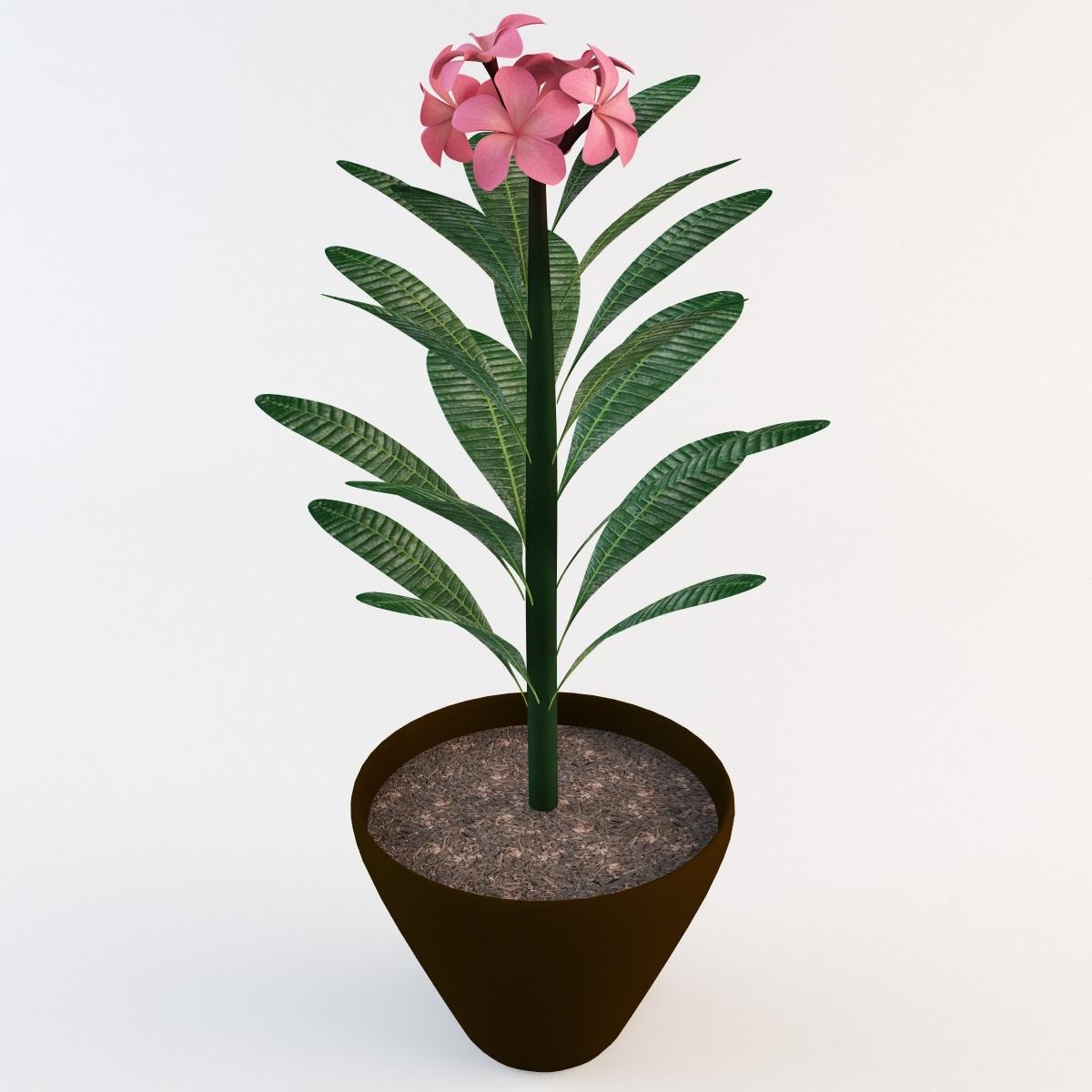 Pink Plumeria Plant