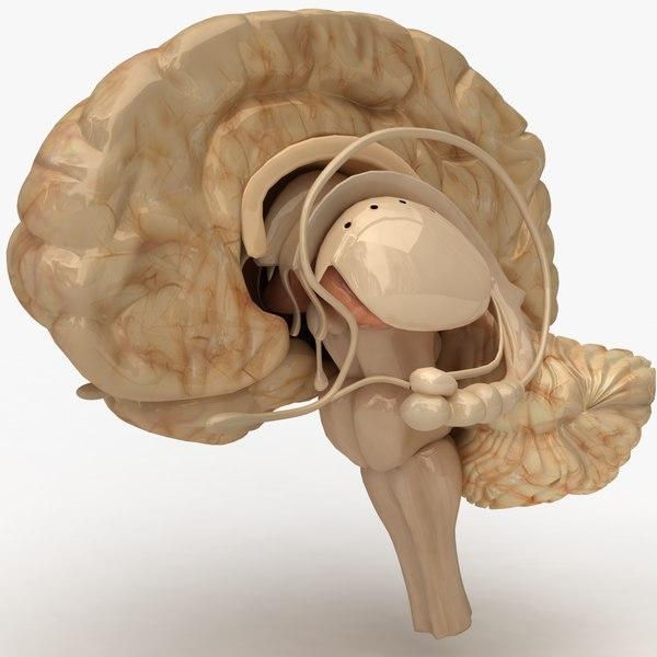 Human Brain 3D Models